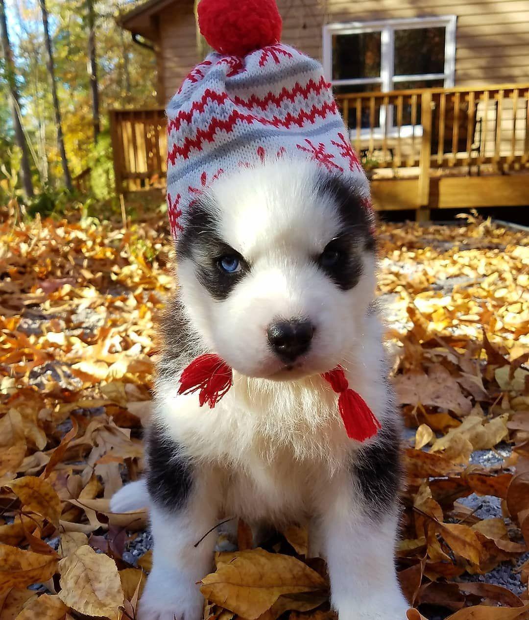 Huskies Corner On Instagram Merry Christmas Everyone