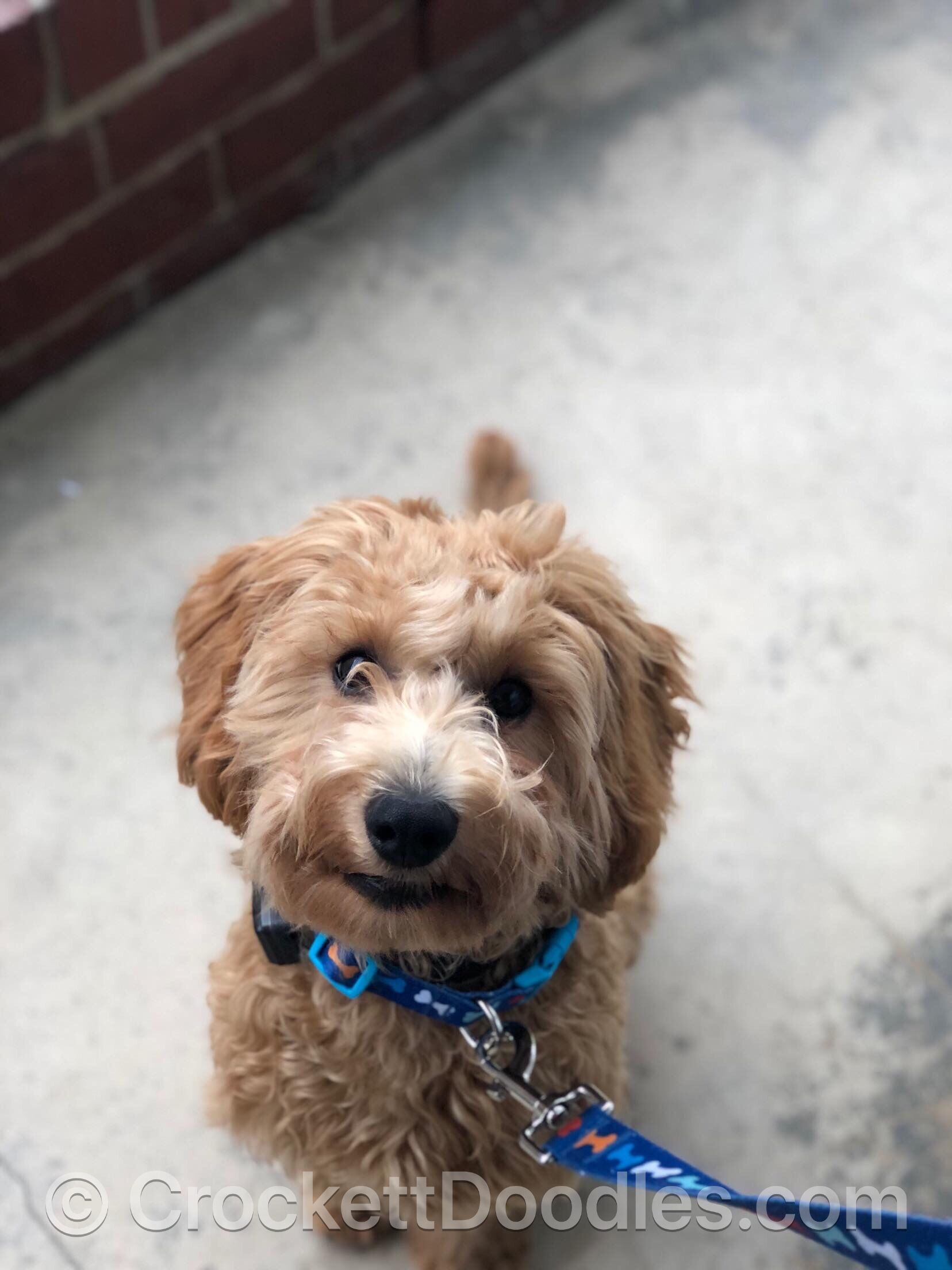 To Find Out More About The Crockett Doodles Program And Our Puppies Please Visit Www Crockettdoodl Labradoodle Puppies For Sale Labradoodle Puppy Doodle Puppy