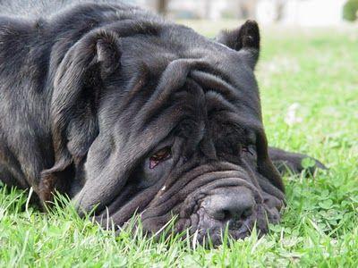 Sería Buena Opción Sacrificar A Un Perro Agresivo Animales I Love Dogs Big Dogs Shar Pei Dog