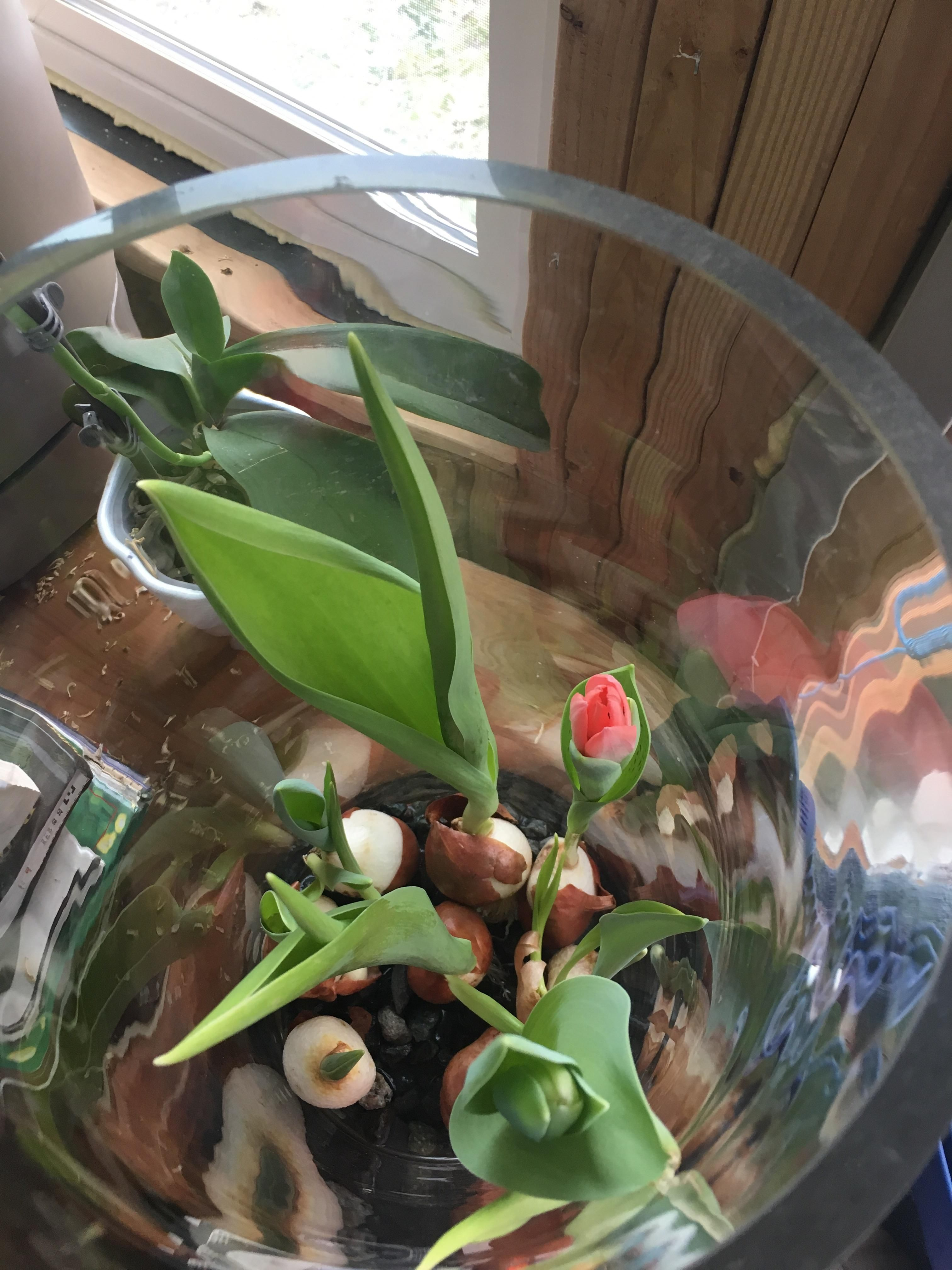 First time forcing tulips. #gardening #garden #DIY #home #flowers ...