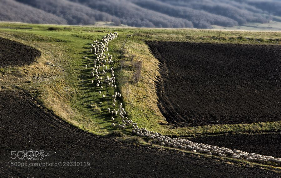 Parco Nazionale Monti Sibillini - Transumanza gregge di pecore