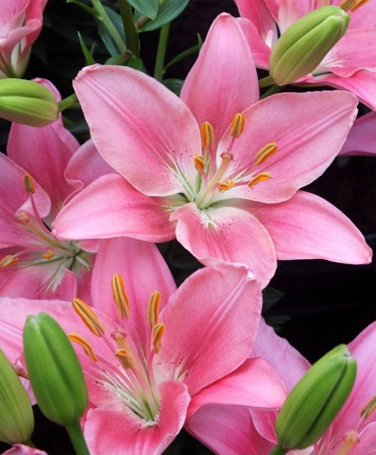 Asiatic Pixie Lily Foxtrot Asiatic Hybrid Hardy Lilies Flower Bulb Index Lily Flower Bulb Flowers Beautiful Pink Flowers