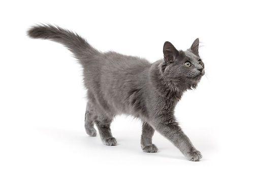 Cat 03 Je0178 01 C Kimball Stock Nebelung Kitten Walking On White Seamless Nebelung Crazy Cats Animals
