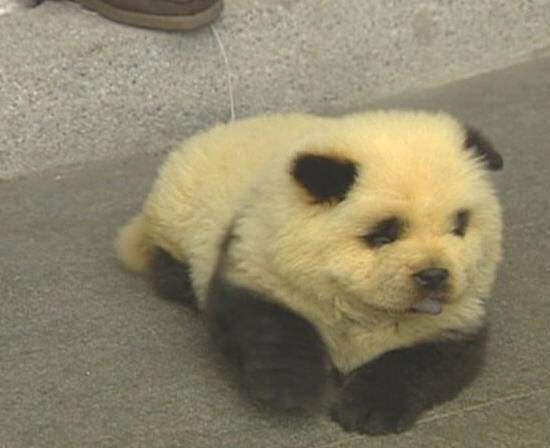 Panda Chow Chow Cute But Kind Of Cruel Seeing How They Had To