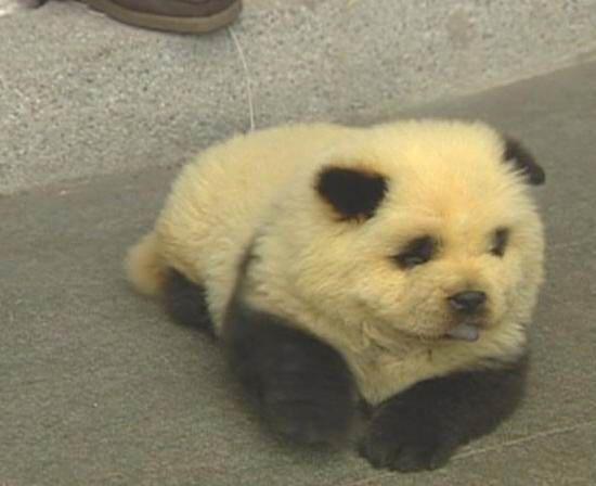 Panda Chow Chow Panda Puppy Cutest Dog Ever Panda Chow Chow