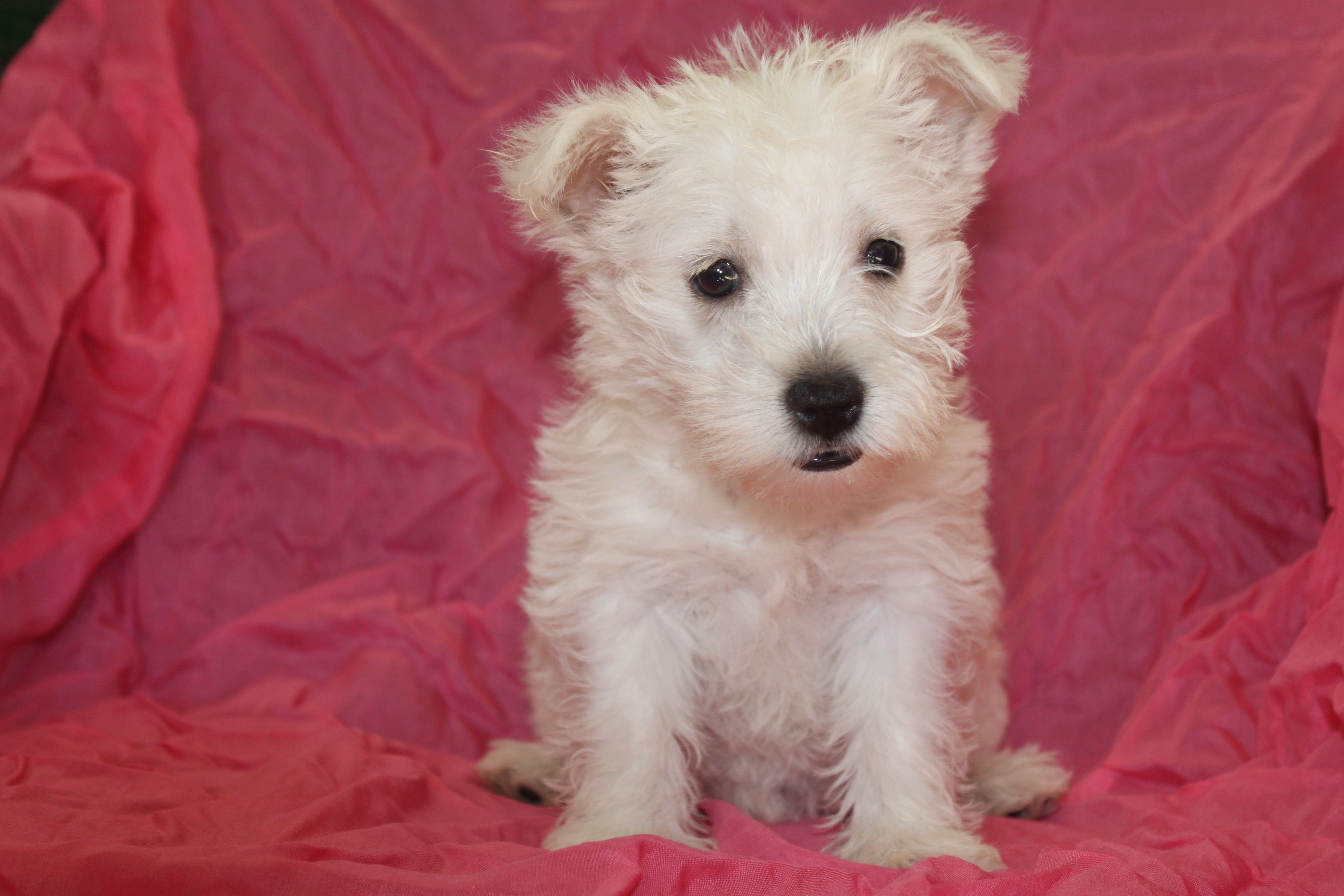 Westie puppies for sale this is another female in the