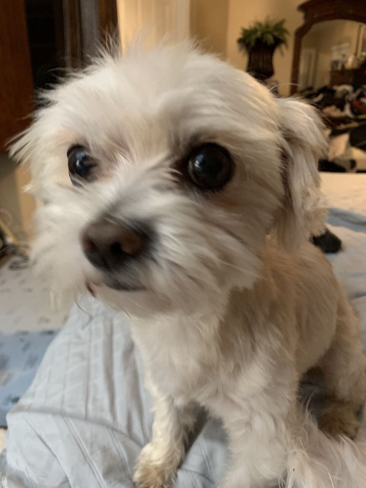 Adopt buddy on poodle mix dogs terrier poodle mix animals