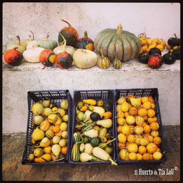 Hoy sí parece que el verano se marchó, aunque volverá :) Damos la bienvenida al otoño con estas calabazas que acabamos de cosechar. Unas pequeñitas, otras