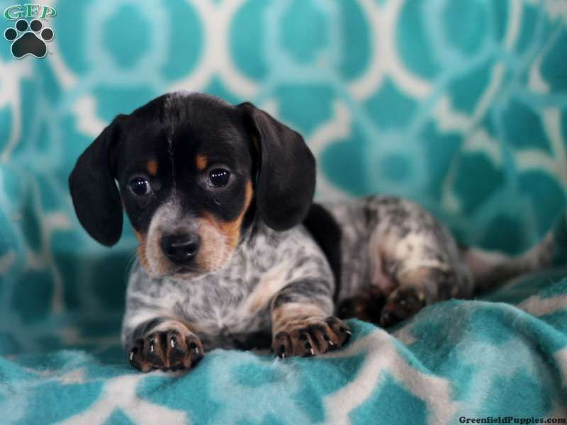 Alaina Dachshund Puppy For Sale In Pennsylvania Dachshund