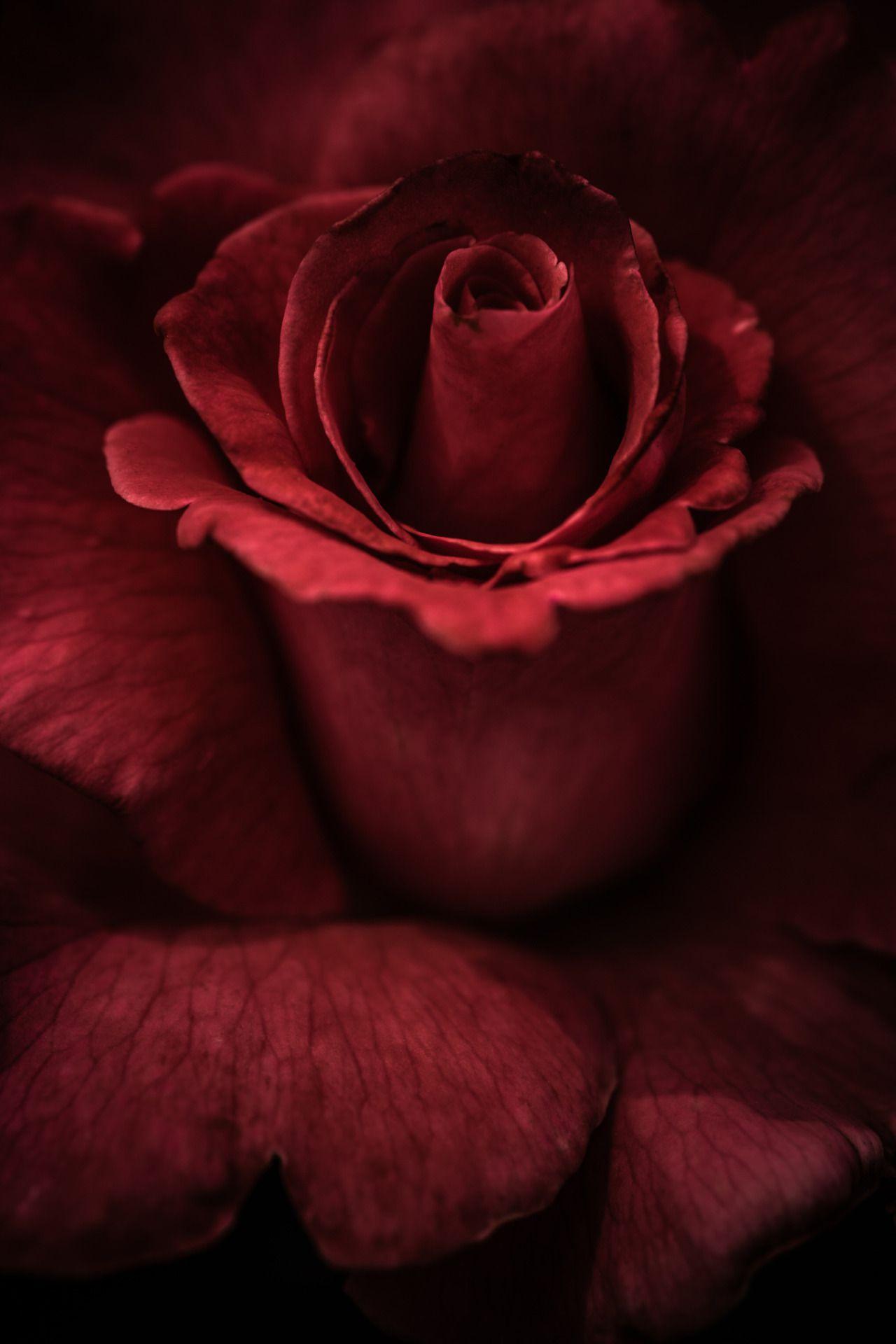 Burgundy Quenalbertini Beautiful Flower Red Roses Rose Beautiful Flowers