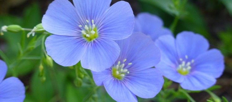 How Is Linen Made From Flax Flower To Fitted Sheet Linenbeauty Flax Flowers Flower Seeds Flowers