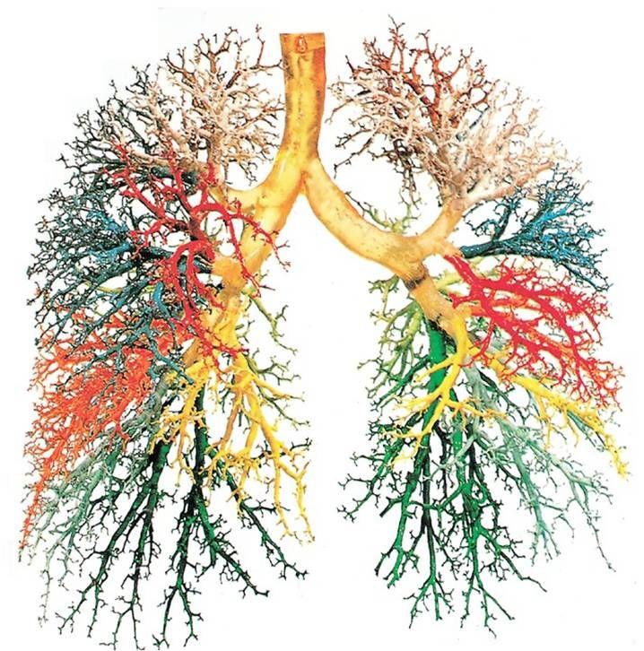 Bronchial Tree | Anatomy | Pinterest | Tattoo