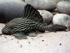 Royal Panaque Catfish Royal Pleco Catfish Fish Pet Breeds