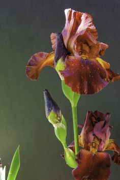 rich red bearded iris more irises pinterest iris bearded rh pinterest com