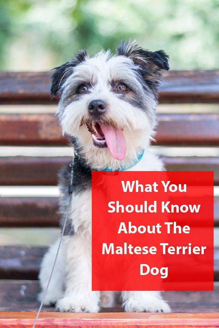 Maltese Terrier Breed Information Terrier breeds