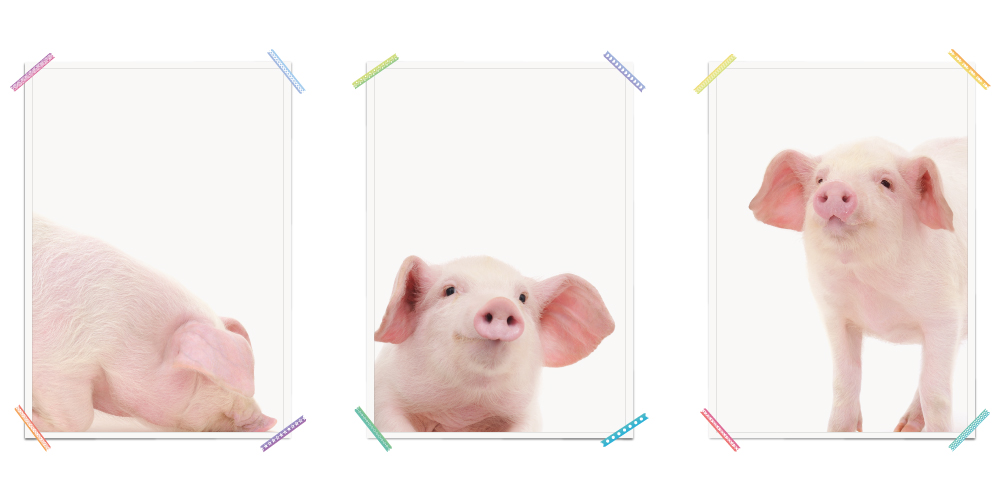 Schwein Ferkel Bauernhoftiere Haustiere Poster Kinderzimmer