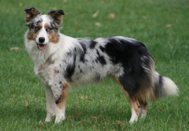 The 30 Most Intelligent Doggies Border Collie Blue Merle Border Collie Colors Collie Puppies For Sale