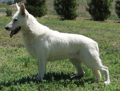 Solid White German Shepherd Steel Cross German Shepherd Dogs