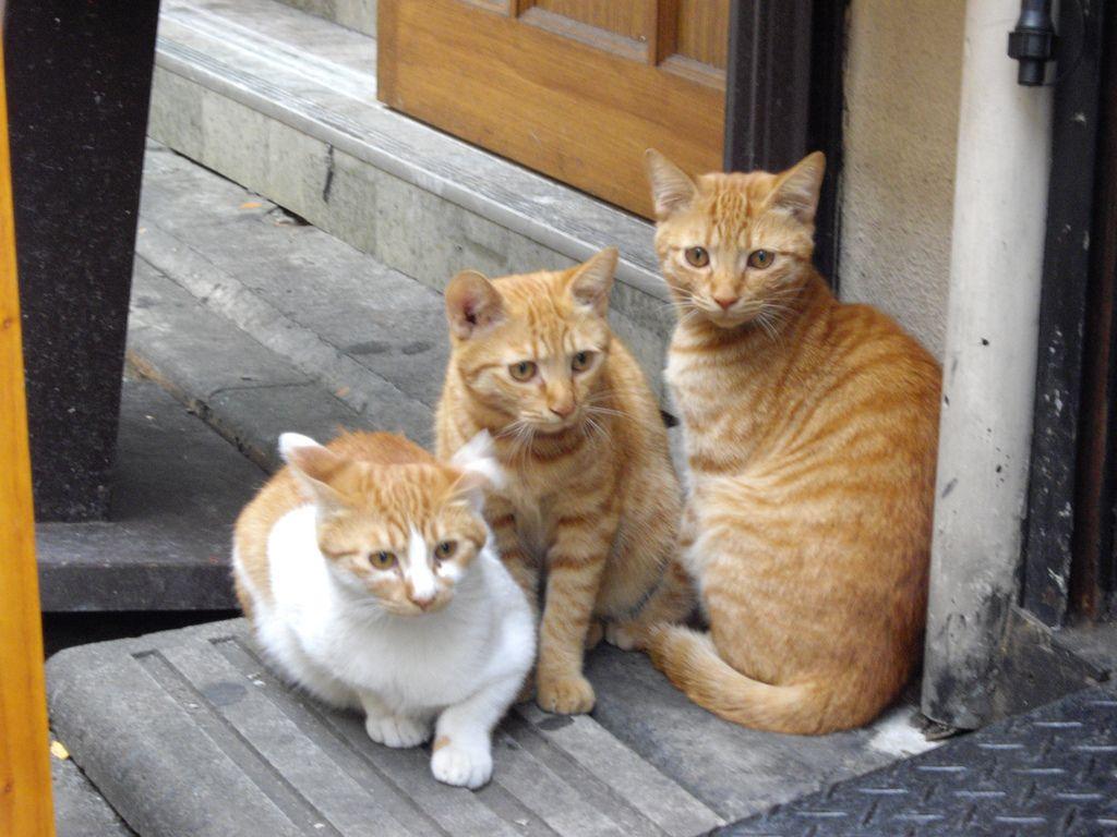Kabukicho Gangsta Kittens Stray Cat Cats Kittens
