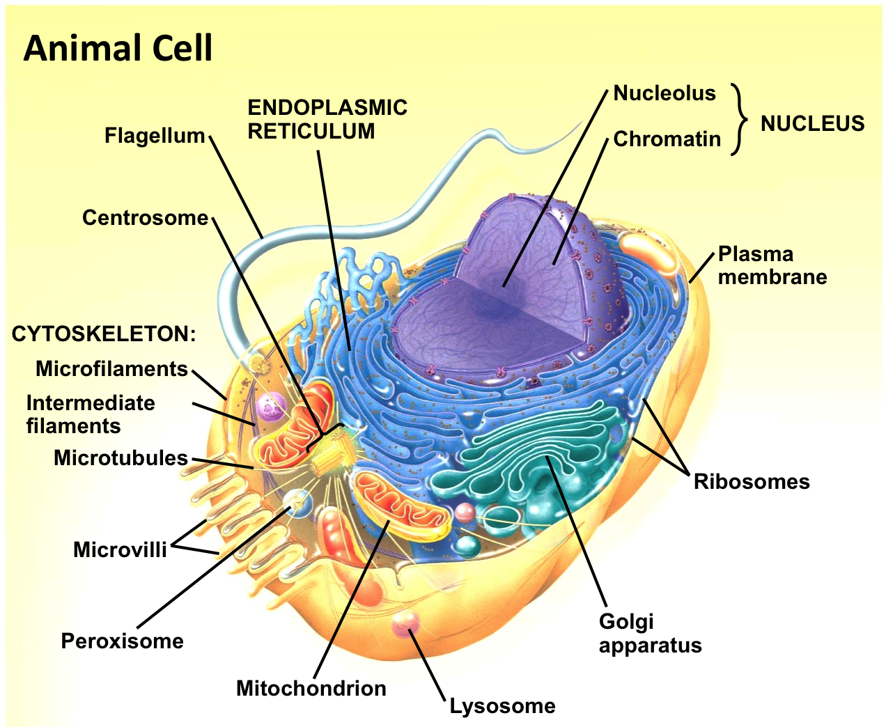 small resolution of plant cell wallpaper blow up a balloon campbell biology the animal cell diagram campbell