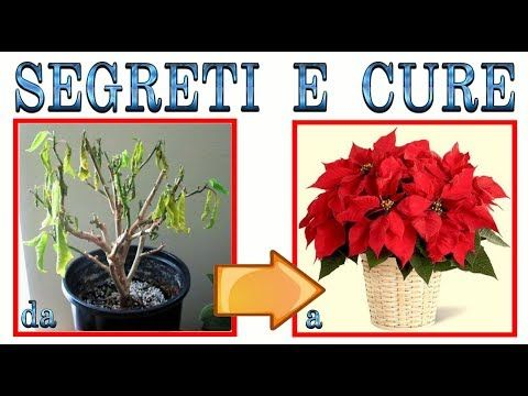 Photo of poinsettia, secrets and care for beautiful pl