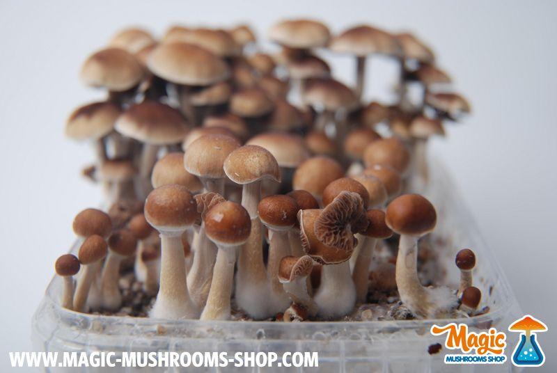 Pin On Magic Mushrooms Mckennaii Grow Kit Grow Box