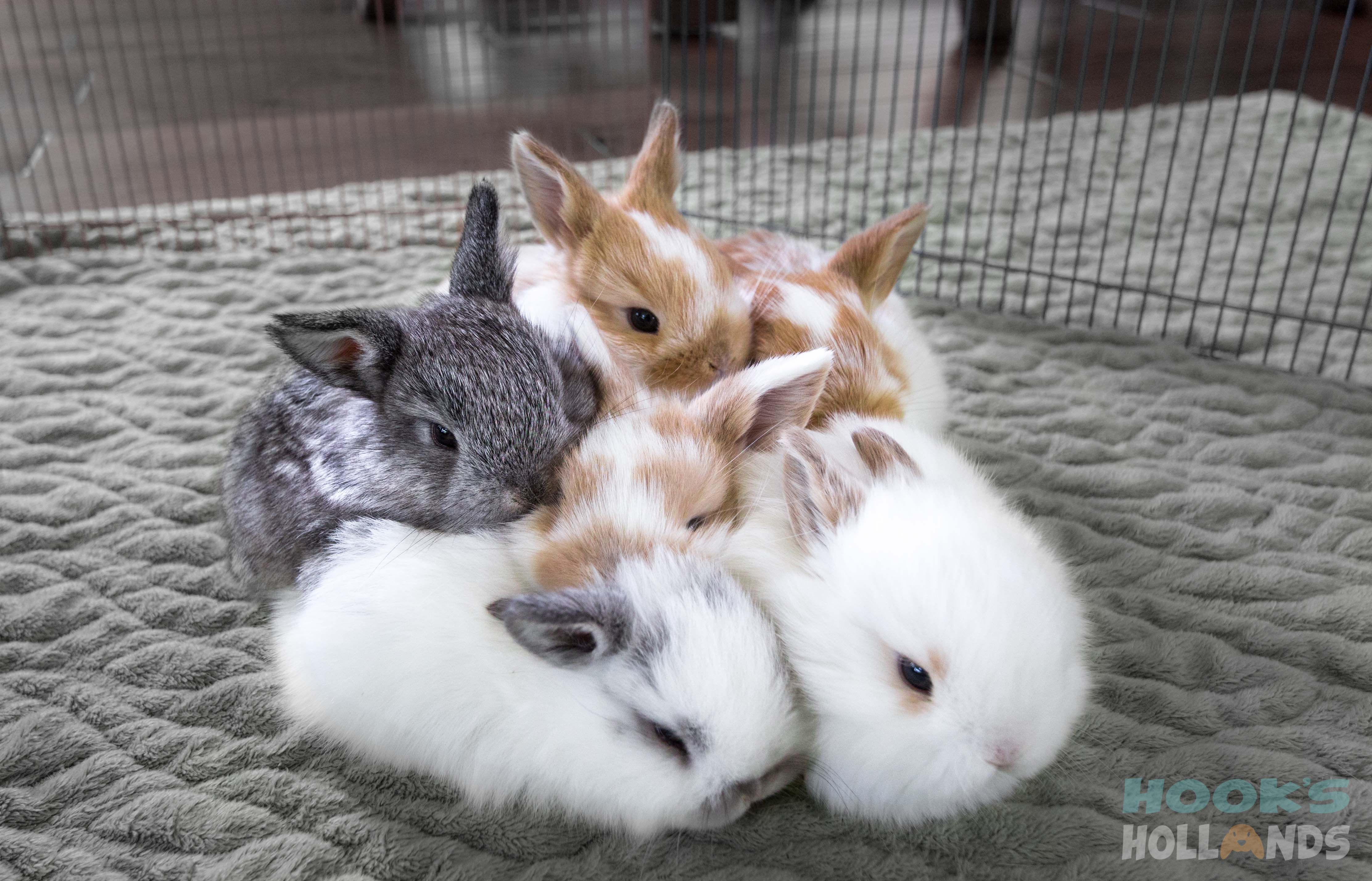 Holland lop baby bunnies, 3 weeks old. From Hook's