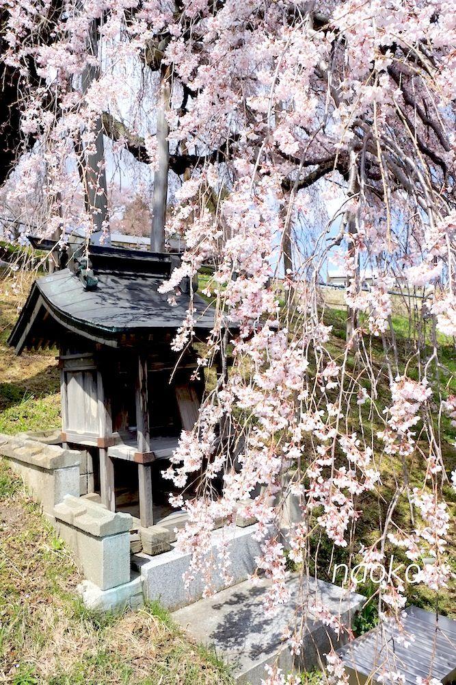 Miharu Takizakura In Fukushima Waterfall Cherry Tree Over 1000 Years Old
