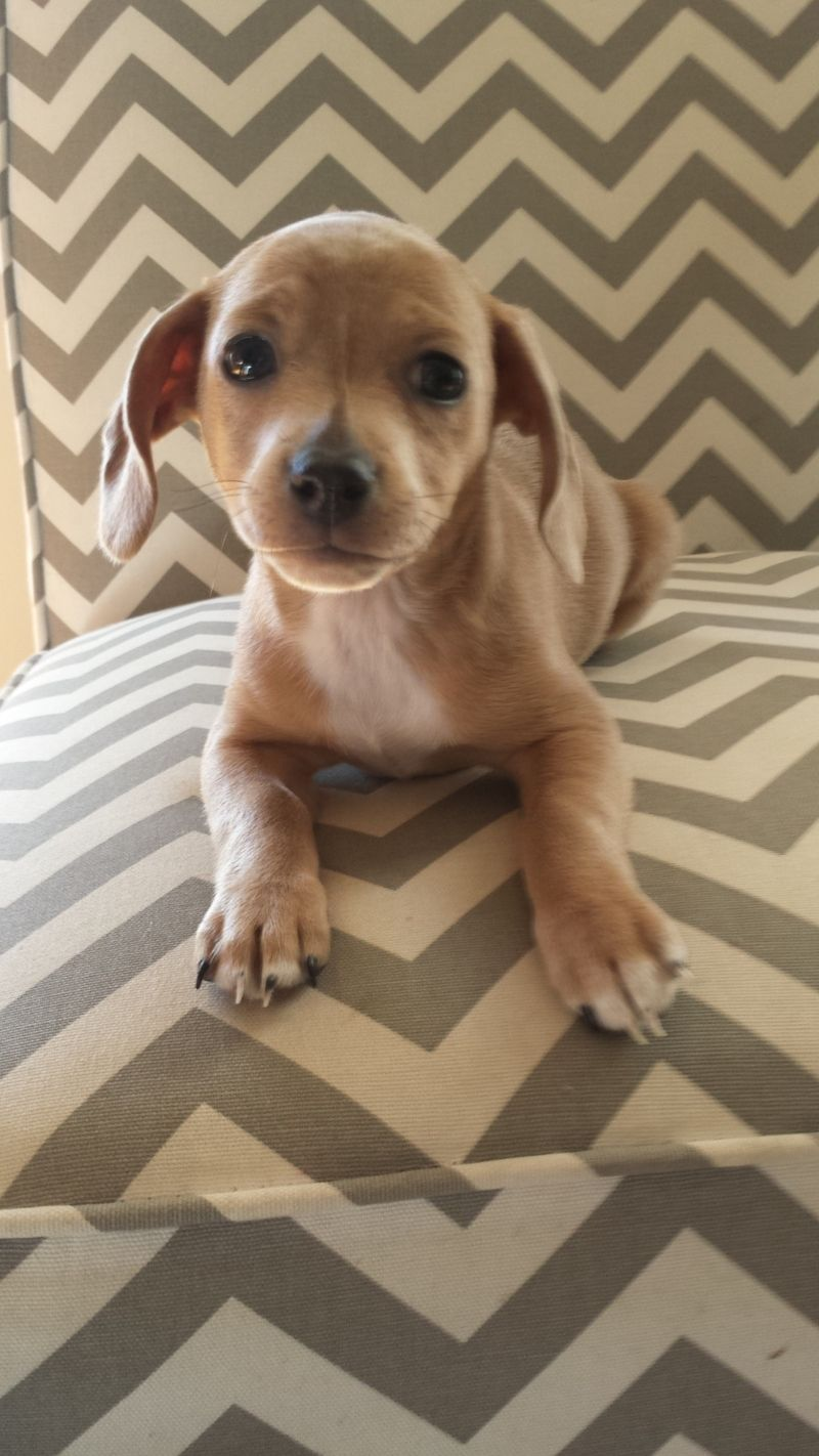Adopt Pebbles On Petfinder Cute Dogs I Love Dogs Dachshund Mix