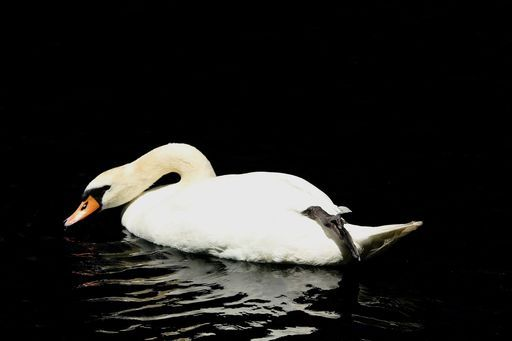 """Check out my art piece """"Demure Swan"""" on crated.com - Puslinch Ontario Canada #art #photography #swan #birds #nature"""