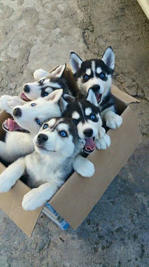 Imagen de dog, cute, and husky | Dogs | Pinterest | Animales ...