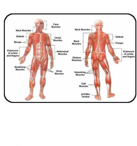 anatomy chart » 2healthfitness - a toast!! | human,animal, or, Muscles
