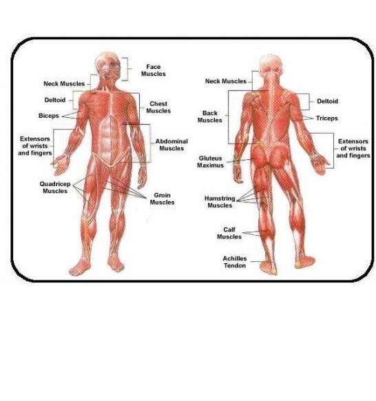 Anatomy Chart 2healthfitness A Toast Humananimal Or