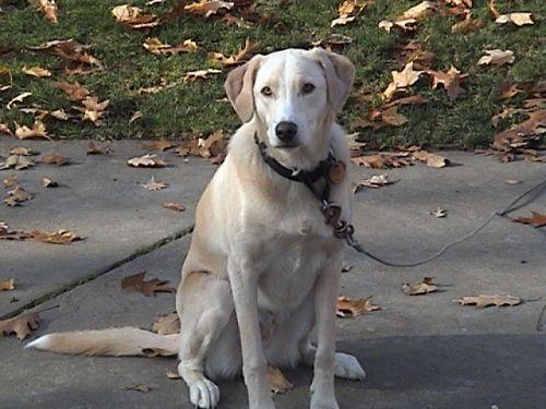 Adopt Barney on Labrador retriever, Labrador, Chocolate