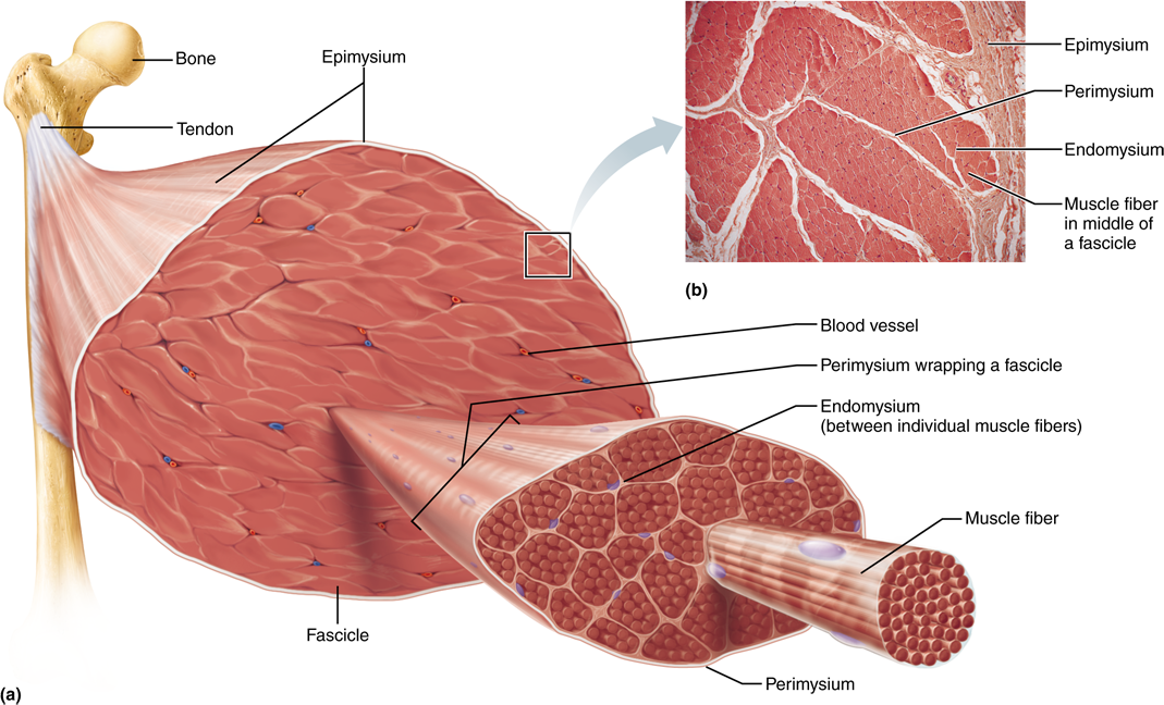 Human Anatomy And Physiology Pearson Etext 2 0 He Human Anatomy And Physiology Skeletal Muscle Skeletal Muscle Anatomy