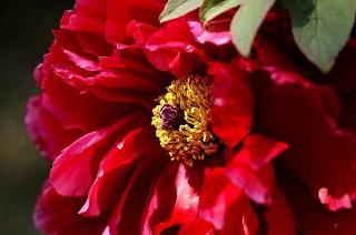 Najpiekniejsze Kwiaty Swiata Piwonia Drzewiasta Peonies Tree Peony Wonderful World Song