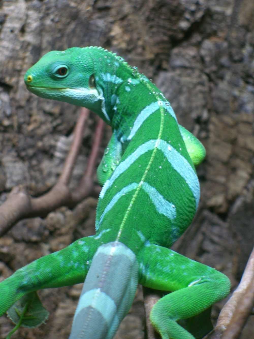 fiji banded iguana reptiles pinterest fiji reptiles and lizards