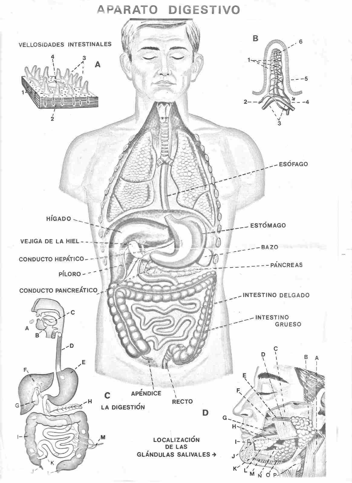 Actividades Para Ninos De Preescolar El Cuerpo Humano 2