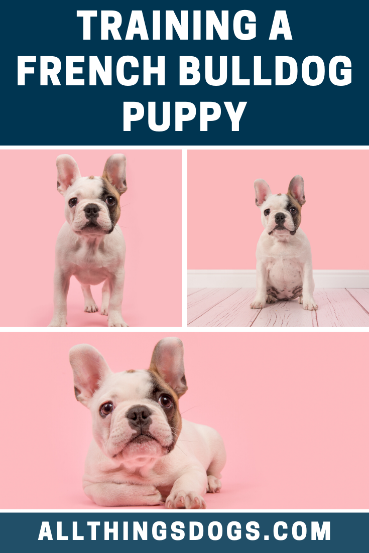 The French Bulldog Loves To Learn Mainly Because They Love Food As With Any Dog Training Consistency And Application Is Very Importa
