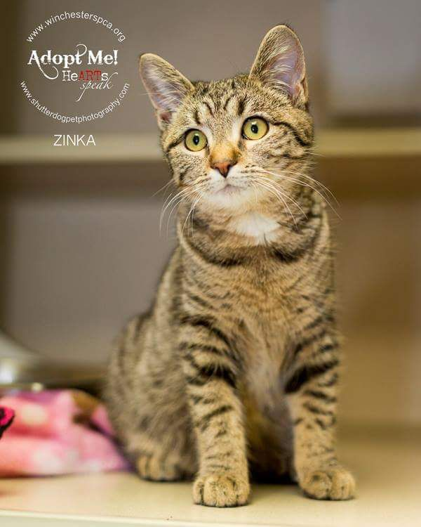 Zinka #cats | Animals | Tabby brown, Pets, Cats