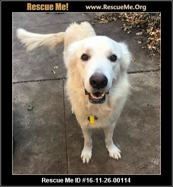 Michigan Great Pyrenees Rescue Adoptions Rescueme Org Great