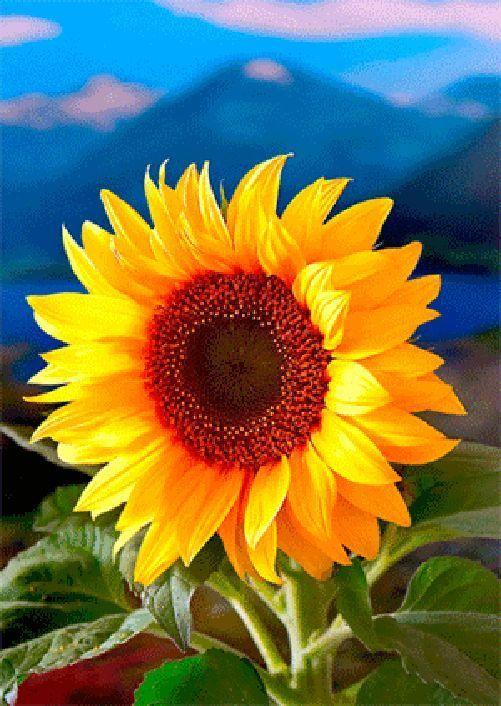 $3.95 - Sunflower - 3D Lenticular Postcard Greeting Card #ebay #Collectibles