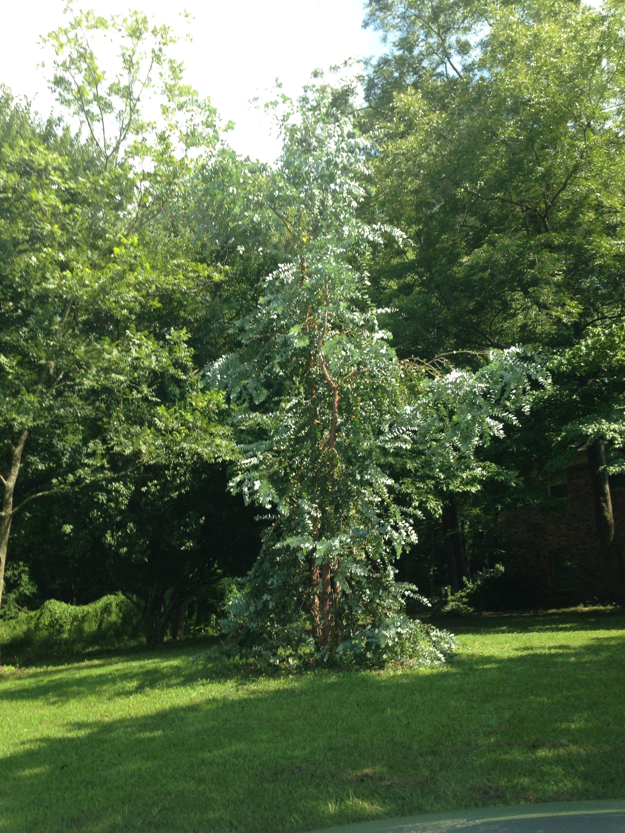 The Silver Lady Eucalyptus Tree | Plants, Eucalyptus tree ...