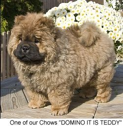 Pin By Anne Hughes Takacs On Chow Chows Chow Chow Dog Puppy Boo