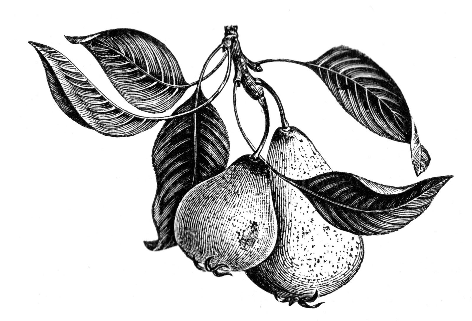Vintage Pear 'Beurre Giffard' Image (With Images