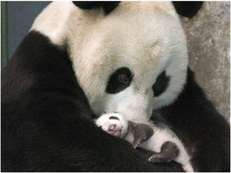 Panda bear protecting her cub!