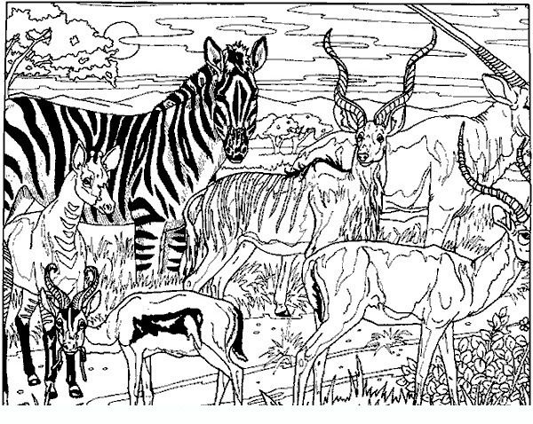 Zebra Adult Coloring Pages