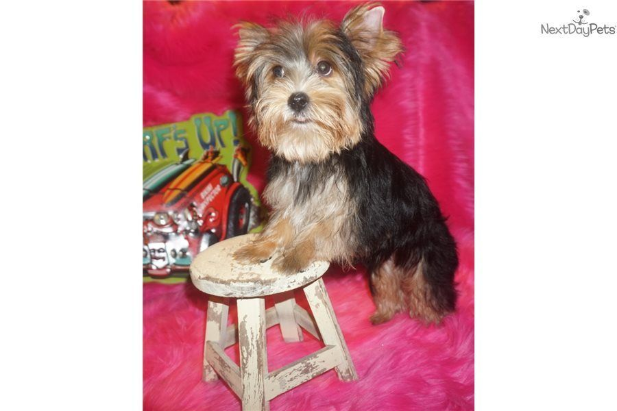 Charlie Chaplin Yorkshire Terrier Yorkie Puppy For Sale Near Dallas Fort Worth Texas 772d78bc 9ad1 York Yorkie Yorkie Puppy For Sale Cute Puppy Breeds