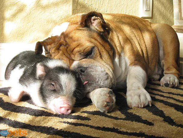 Piglet Loves Bully Dog Friends Cute Animals Pets