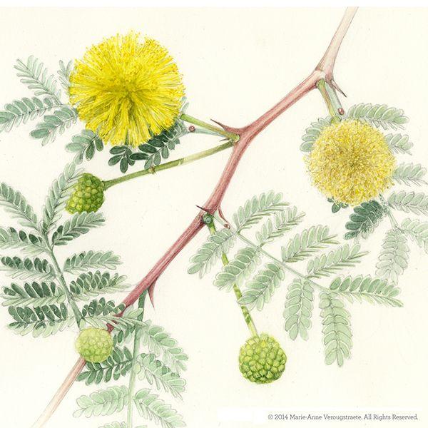 Botanical Illustration Acacia Nilotica On Behance Botanical Illustration Illustration Historical Drawings